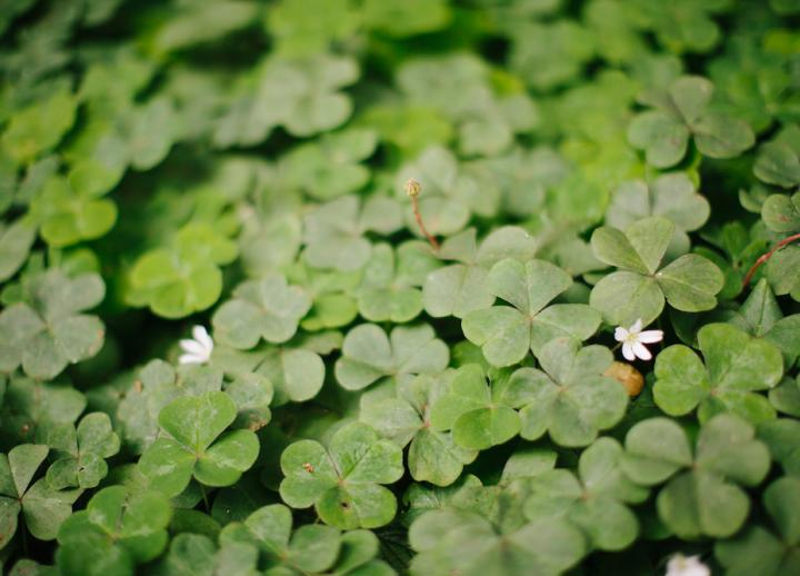 close-up of many clover in a field